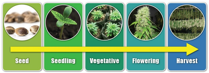 How Long Does It Take To Grow Marijuana